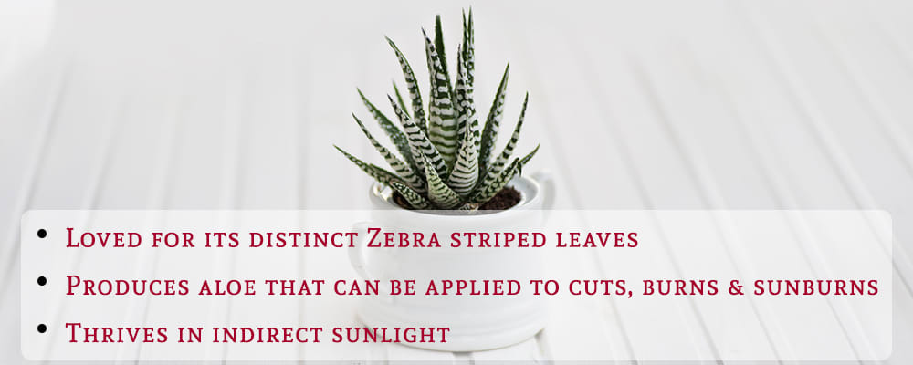Zebra-Haworthia