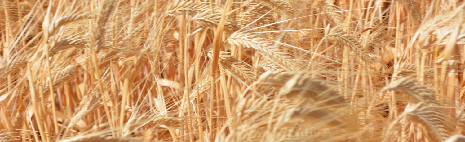 A Buff Barley For Acidic WA Soils