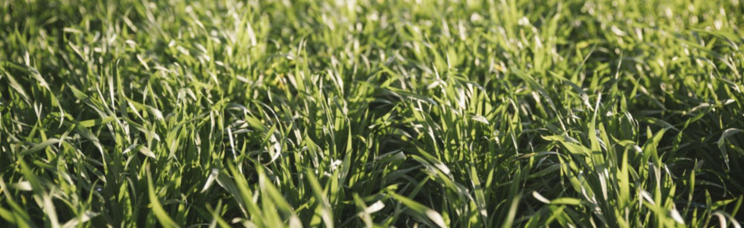 Southern Noodle Wheat Trials Show Promise