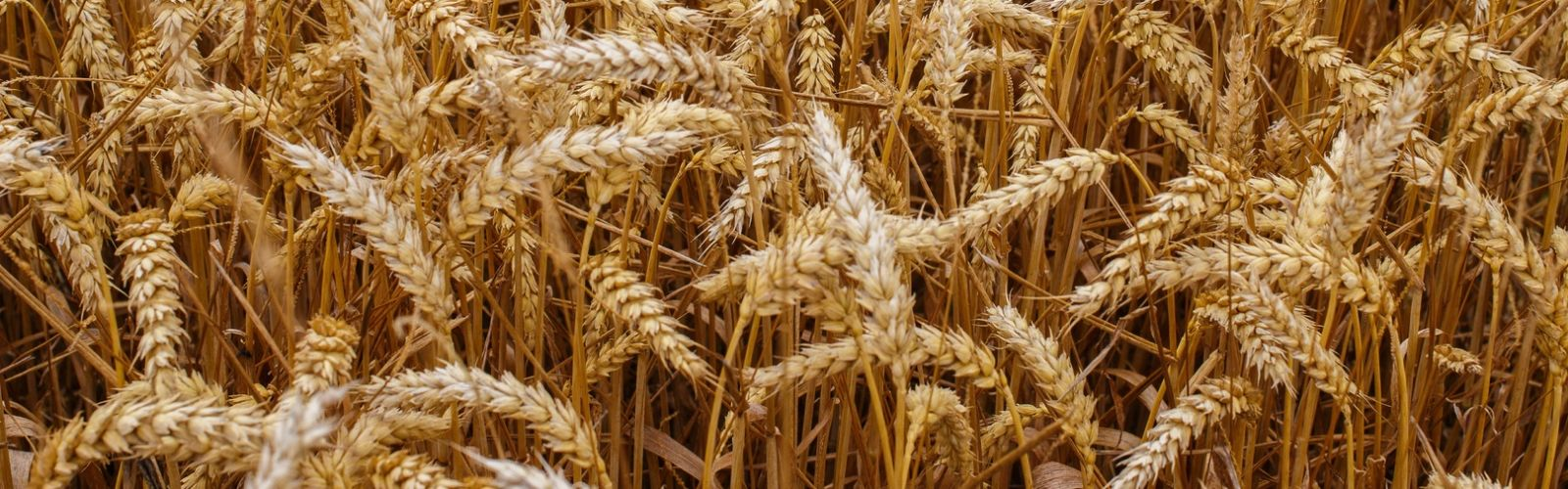 Barley News
