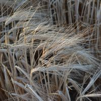 IMI Tolerant Barley Industry Update May 2019