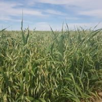 Kingbale Oat Variety to Stack Up