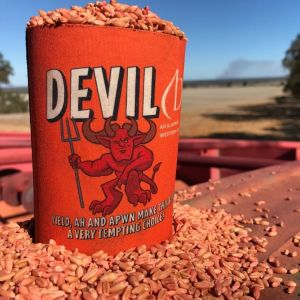 Keeping your options open with Devil wheat
