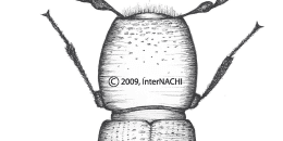 Adult Bostrichid