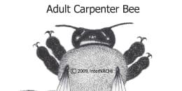 Adult Carpenter Bee