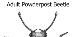 Adult Powderpost Beetle