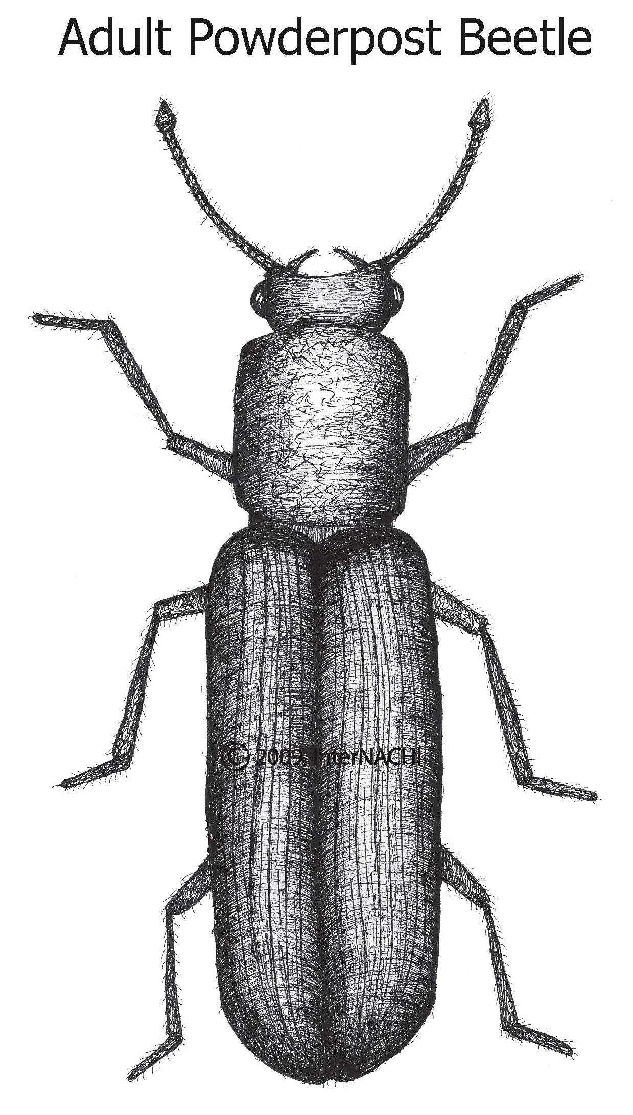 Adult powderpost beetle.