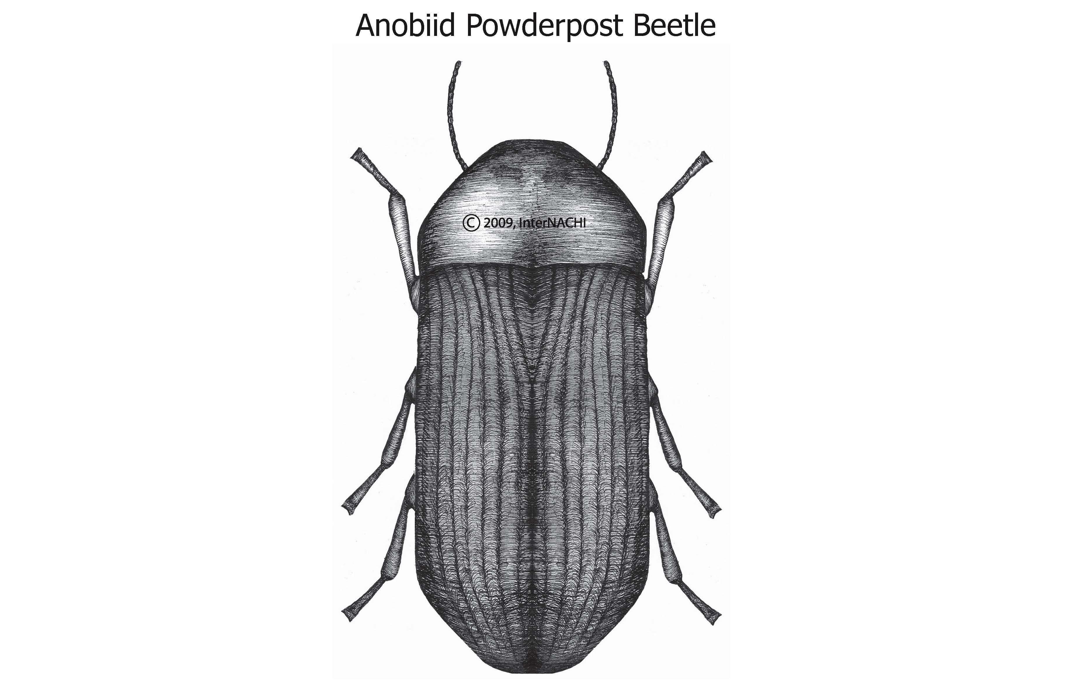 Anobiid powderpost beetle.