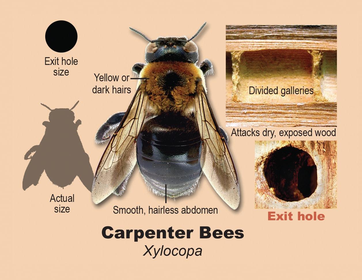 Carpenter bees.