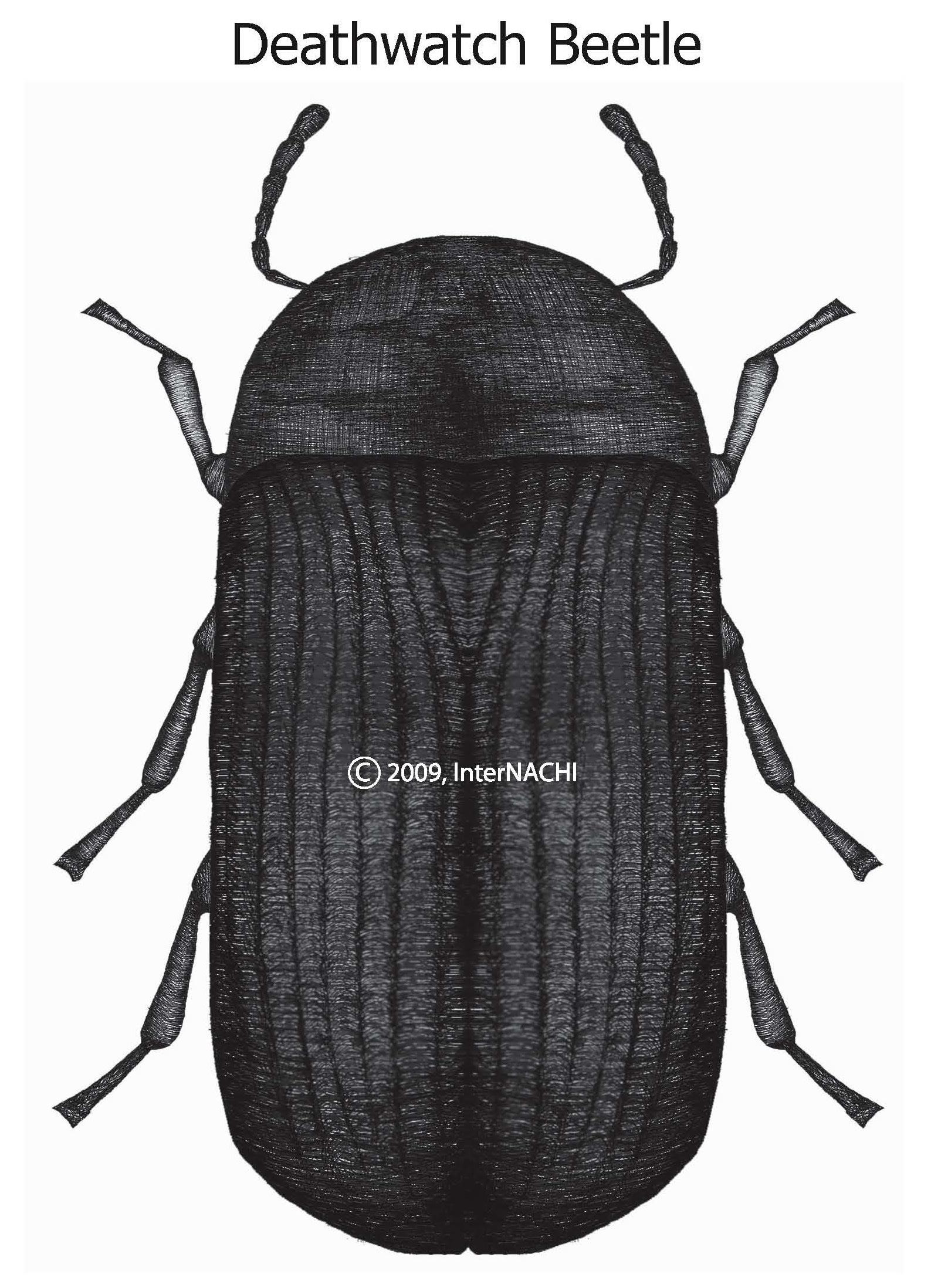Deathwatch beetle.