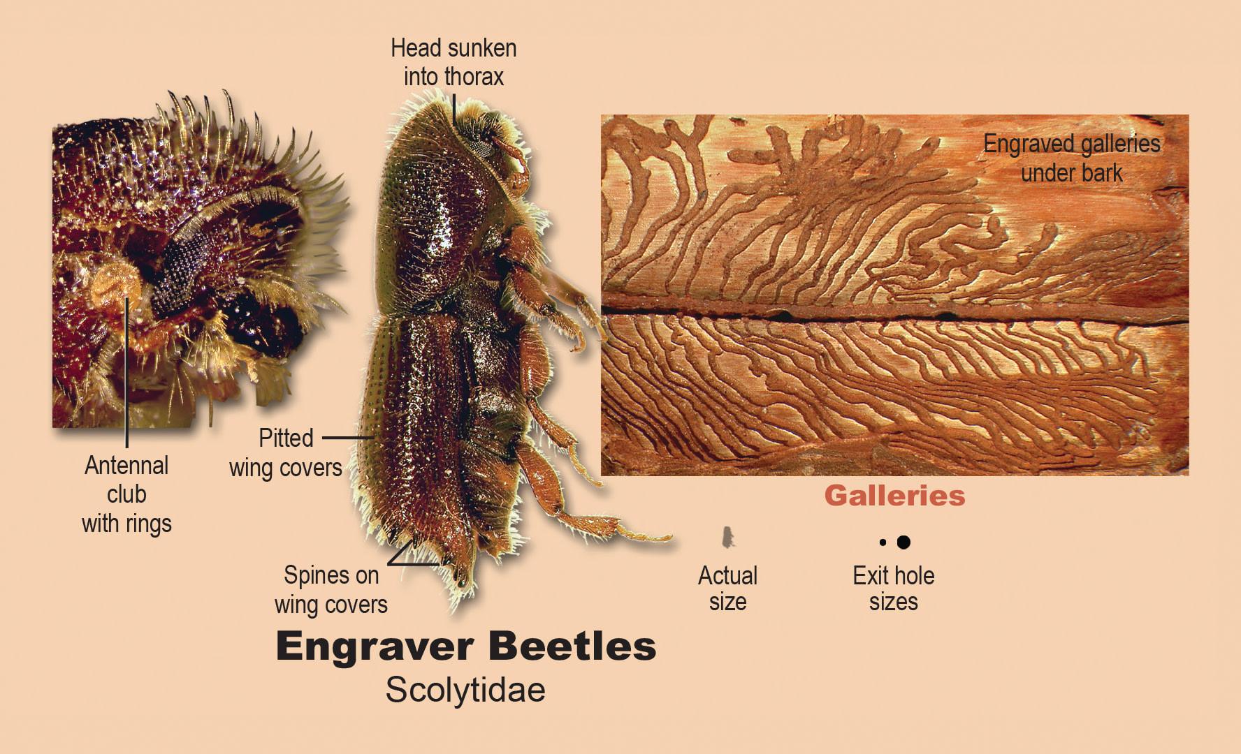 Engraver beetles.
