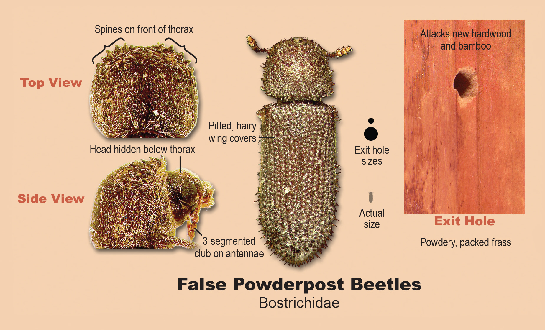 False powderpost beetles.