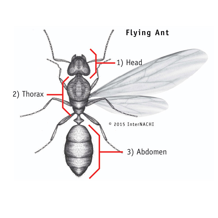 Flying ant parts.