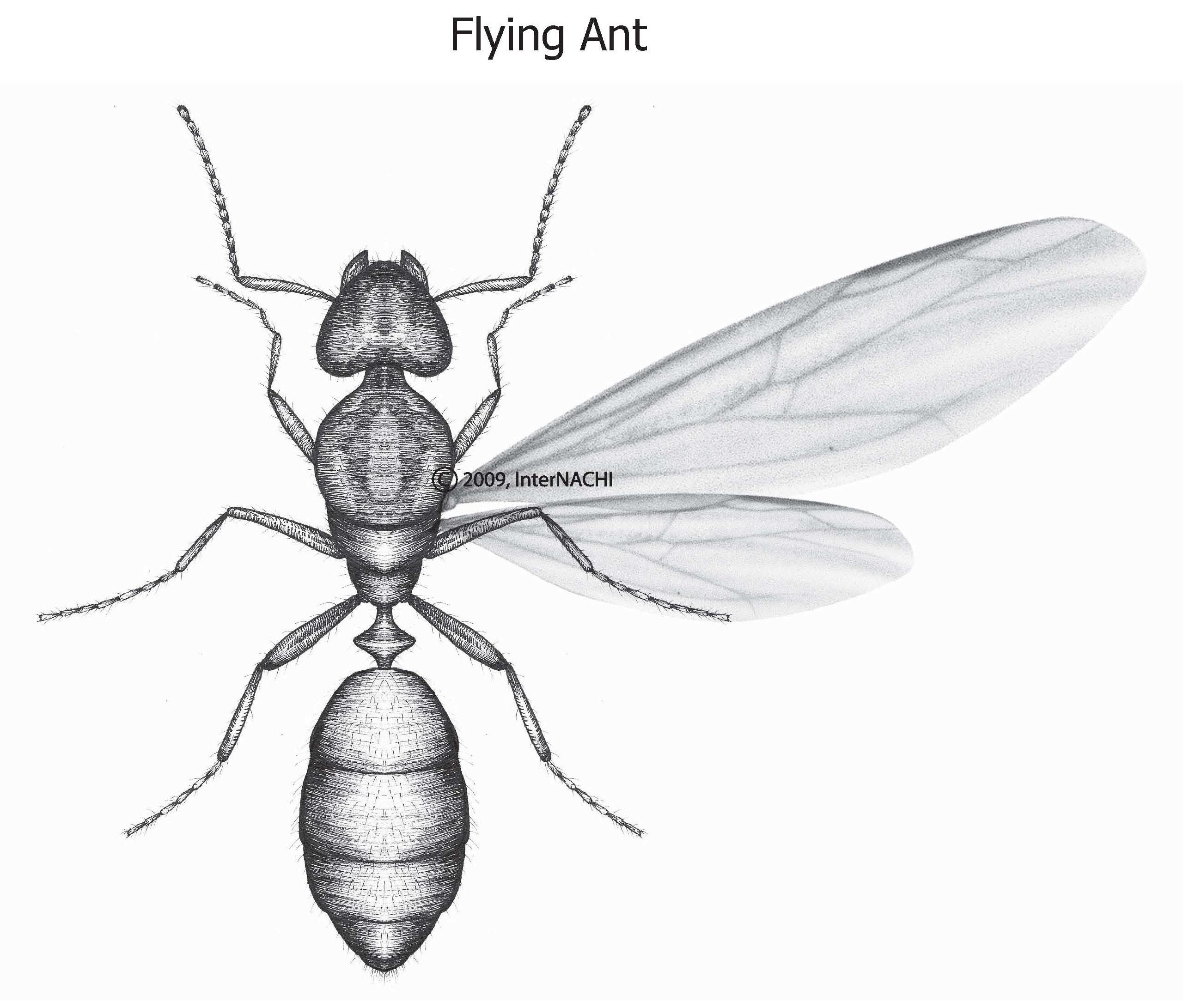 Flying ant.