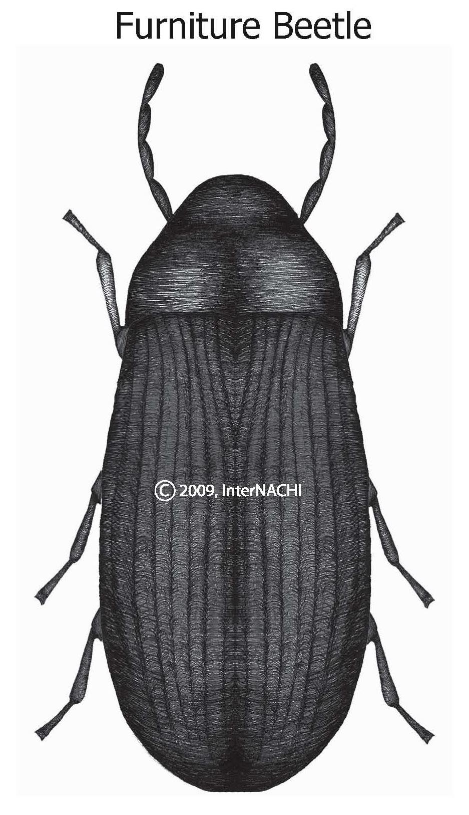 Furniture beetle.
