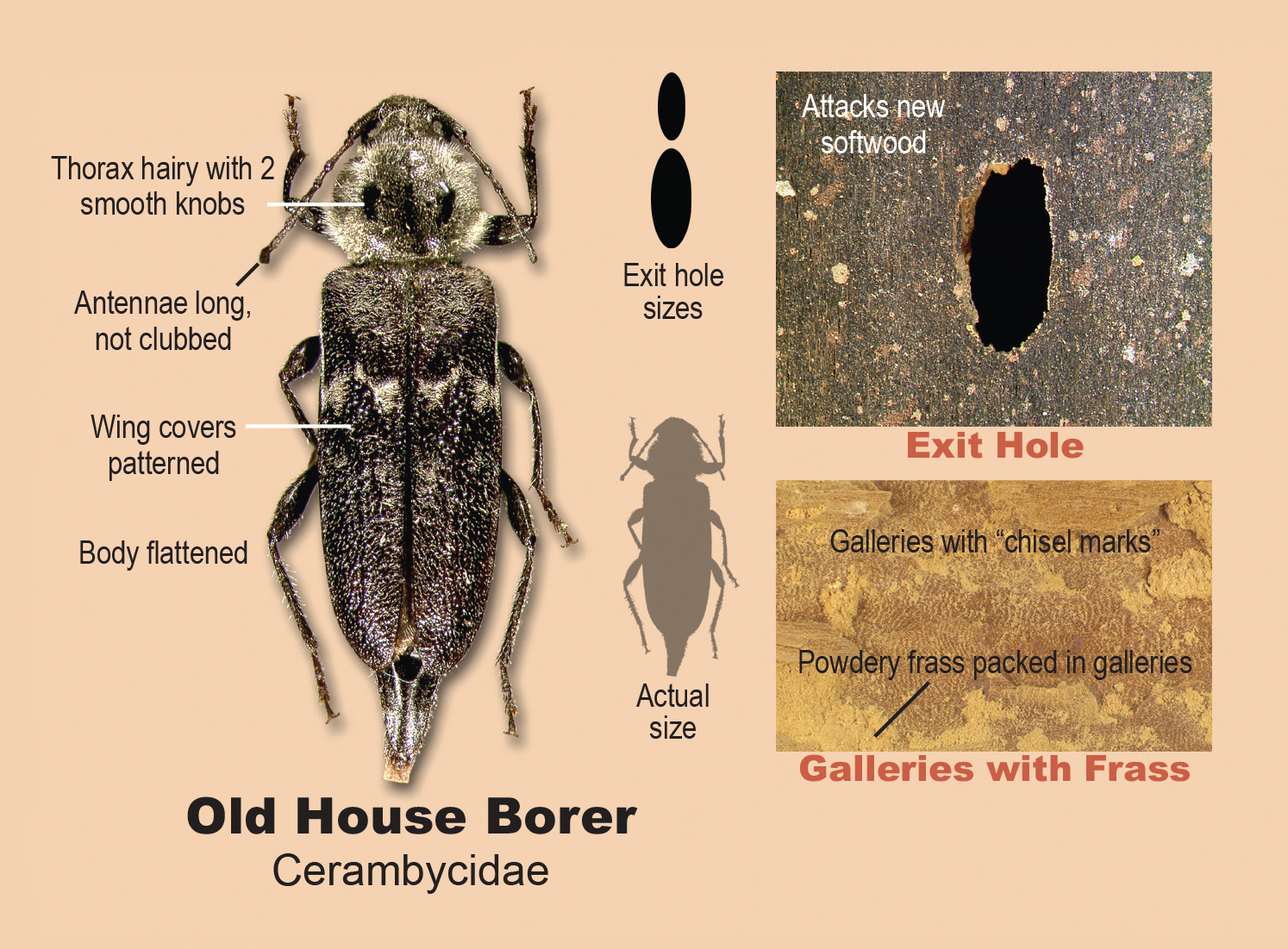 Old house borers