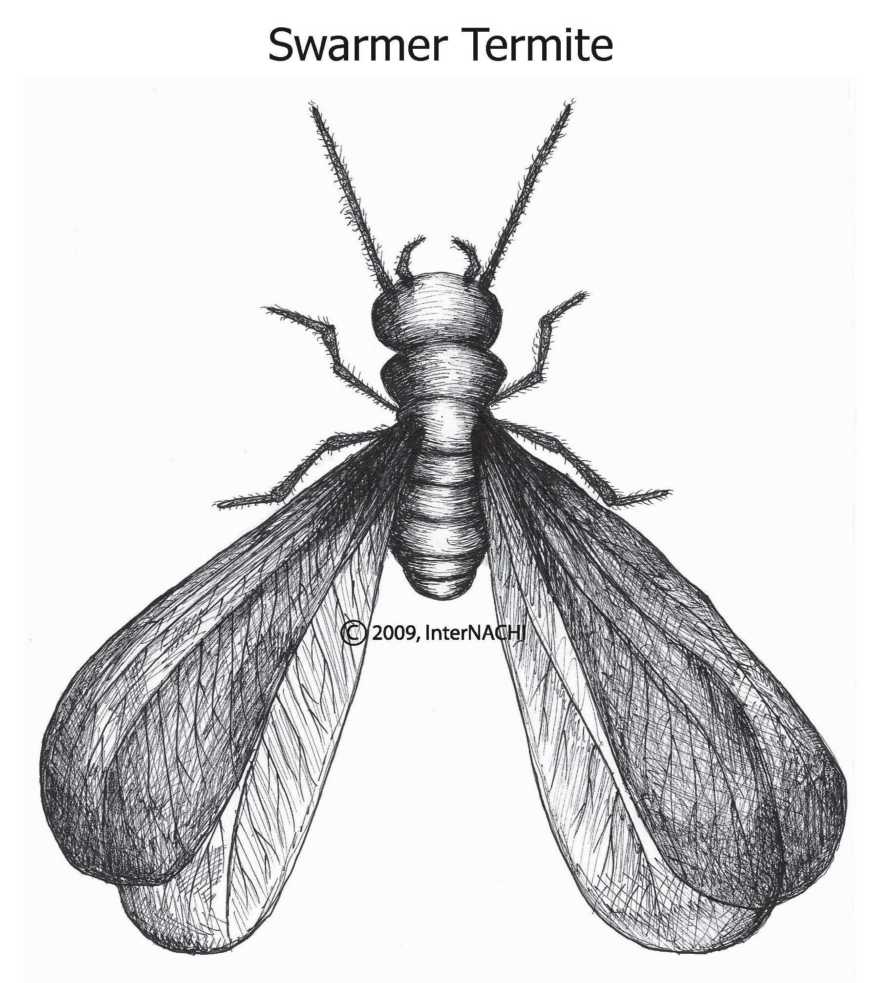 Swarmer termite.