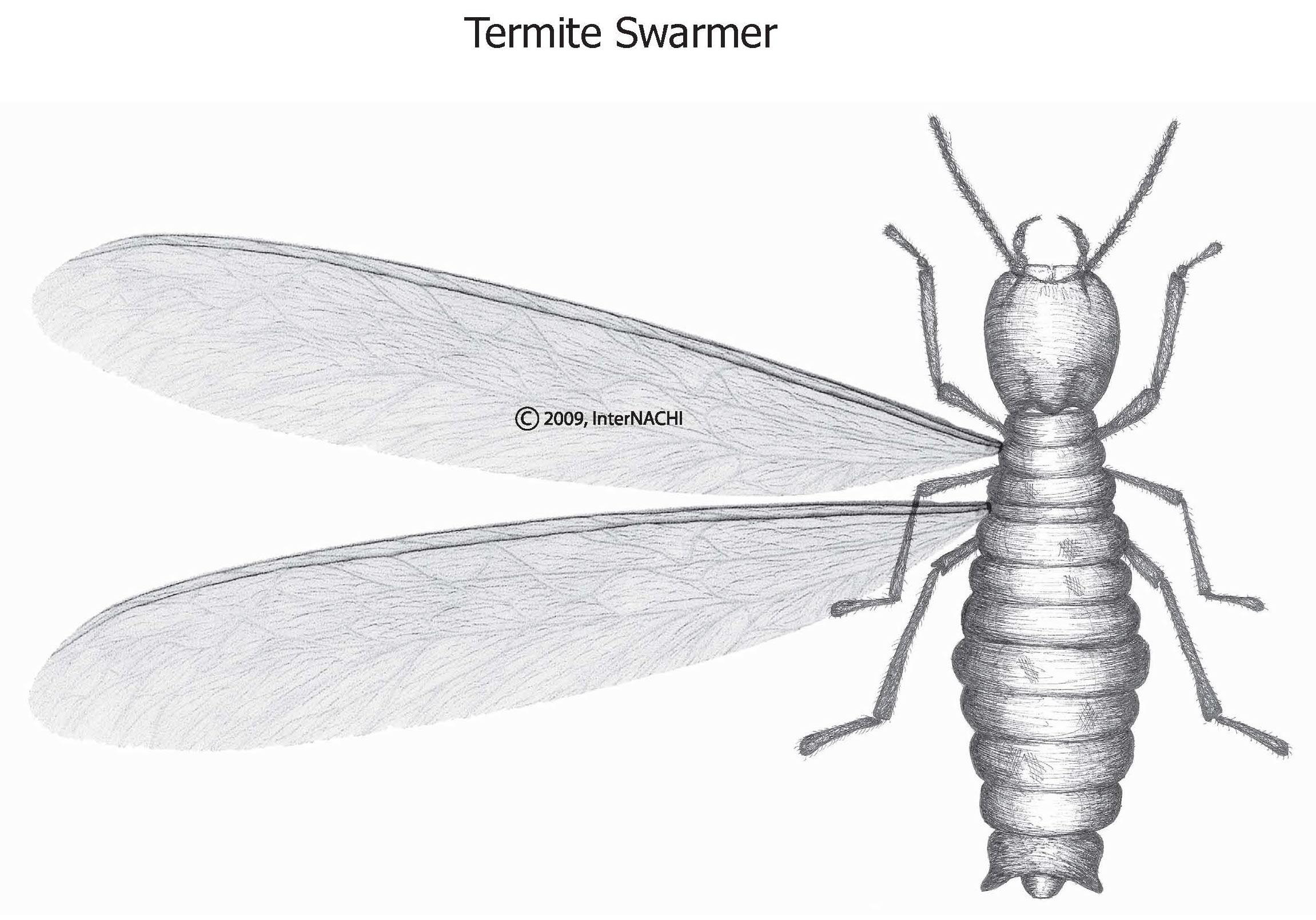 Termite swarmer.