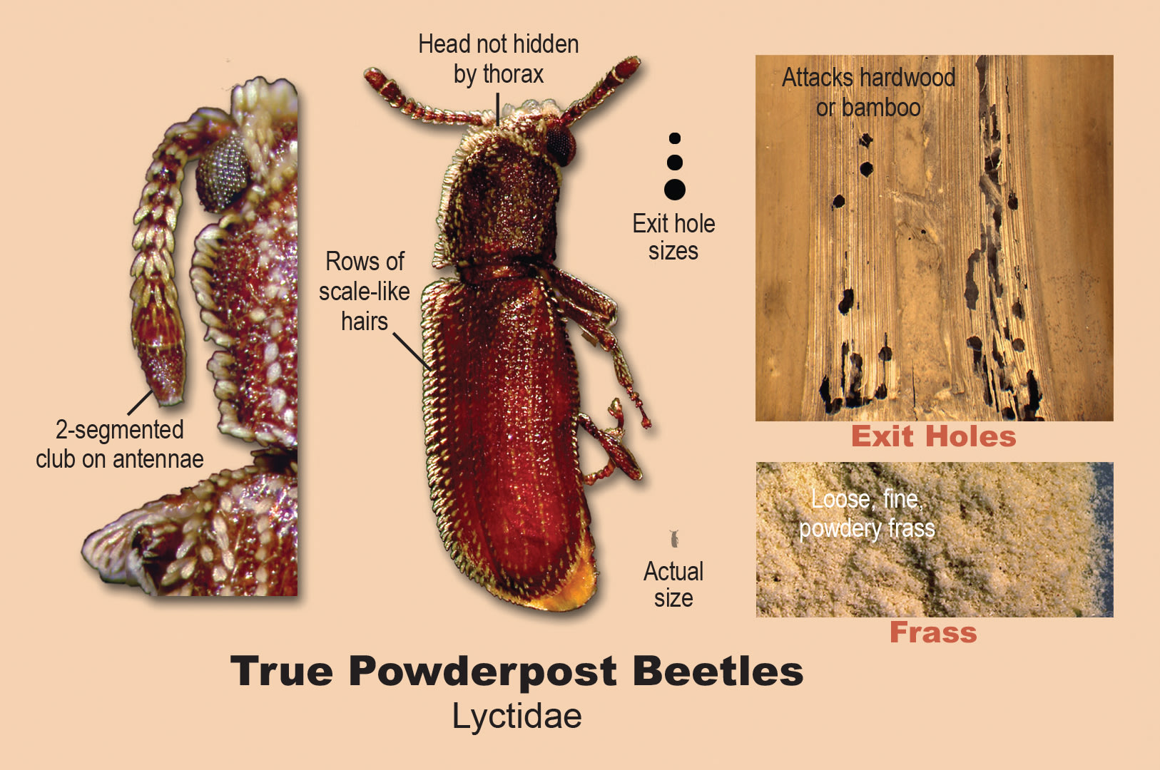 True powderpost beetles.
