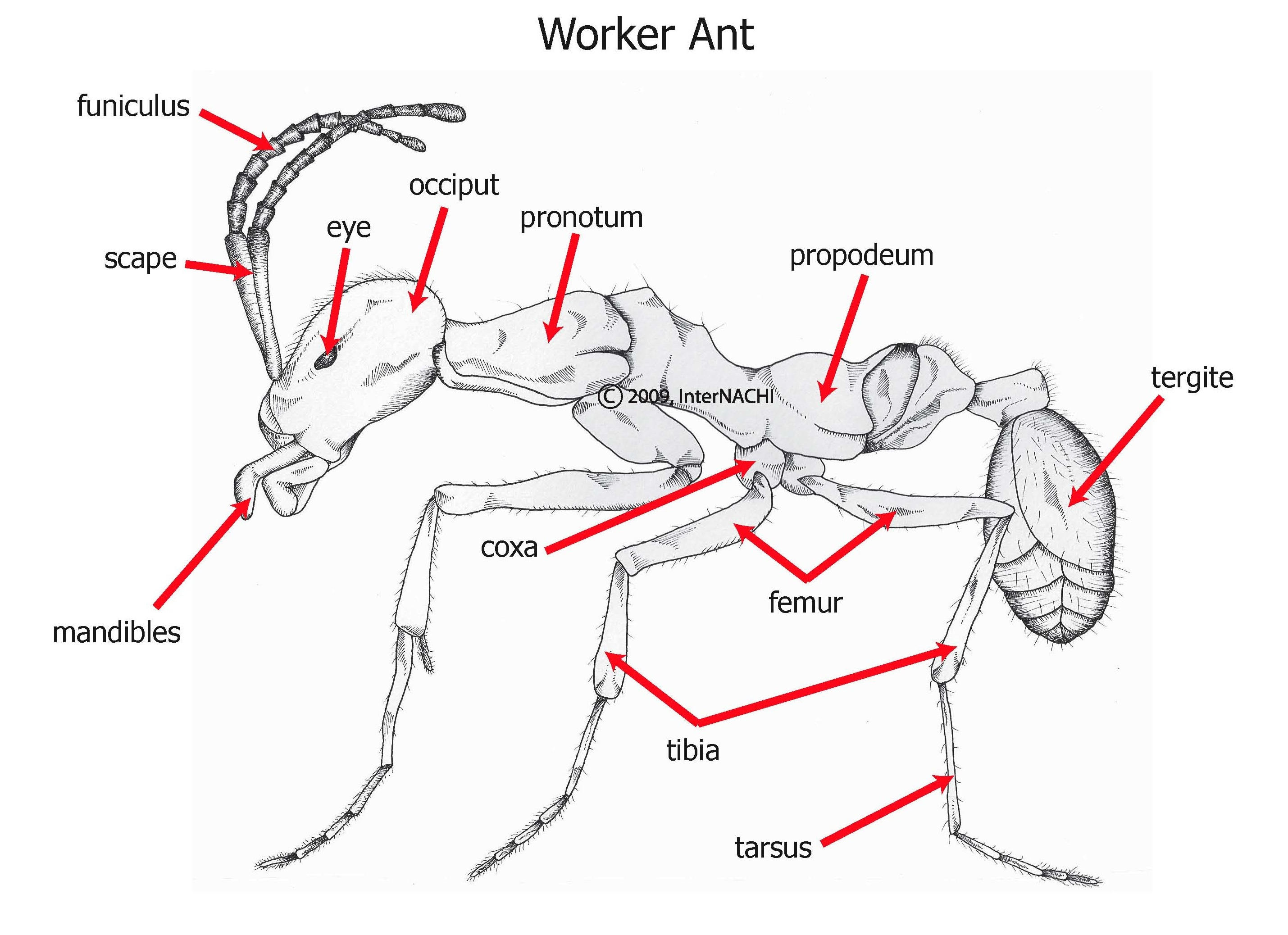 Worker ant.
