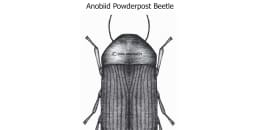 Anobiid Powderpost Beetle