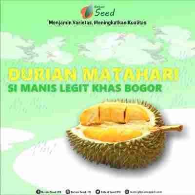 jual Bibit Durian Matahari - Botani Seed - IPB Store