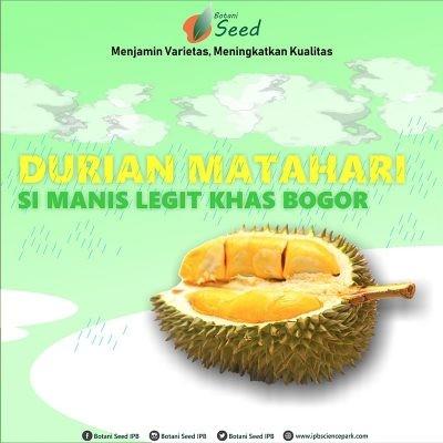 Bibit Durian Matahari - Botani Seed - IPB Store