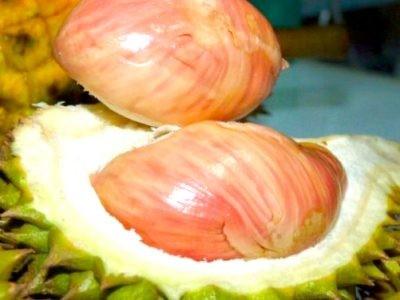 Bibit Durian Manokwari atau Durian Pelangi - Botani Seed - IPB Store