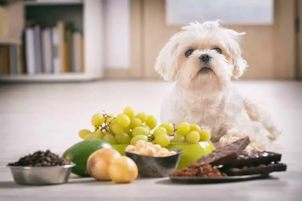چه غذایی می توانم به سگم بدهم وقتی غذای سگم تمام شده | پرشین پت لند