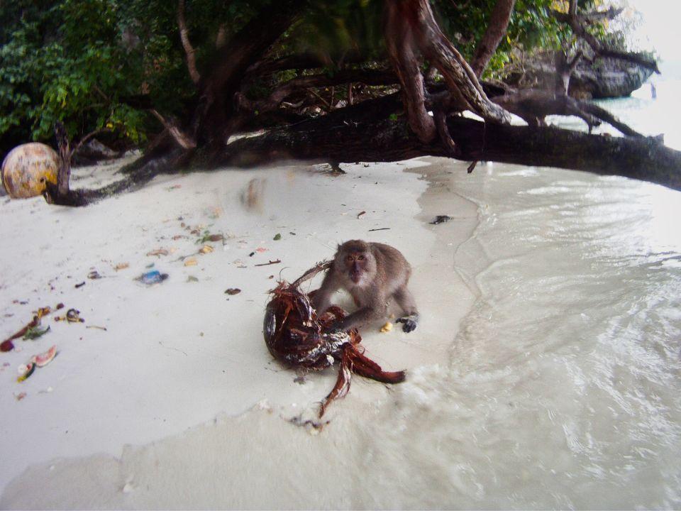 Mono loco coco