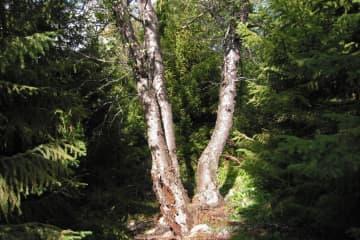 Þórðarstaðir Forest