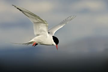 Birds of South Iceland