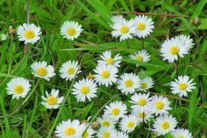 Kwiat stokrotki pospolitej