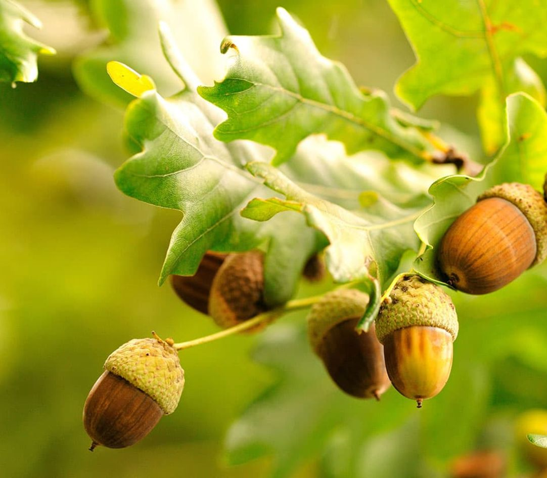 Acorns and Oak trees - ITM
