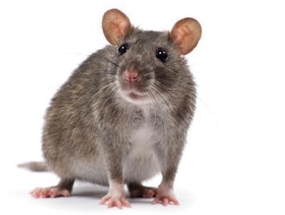 Aussi nommé surmulot, rat d'égout ou rat gris, afin de le distinguer du rat noir qu'il surpasse en taille et en poids, le rat brun mesure environ 25 cm pour le corps et autant pour la queue et pèse 300 grammes à l'âge adulte. A la différence du rat noir, le rat brun vit en groupes hiérarchisés et organisés de 20 à 200 membres, placés sous l'autorité d'un mâle dominant.