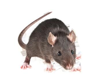 Aussi connu sous le nom de rat des greniers ou rat des champs, sa couleur peut varier jusqu'au brun. Son corps, d'une longueur de 20 à 25 com, se prolonge d'une queue toujours plus longue que le corps. Il atteint 230 grammes à l'âge adulte. Cet animal social vit en groupes pouvant compter une cinquantaine d'individus, plusieurs groupes pouvant nicher à proximité les uns des autres. Piètre nageur mais bon grimpeur, le rat noir privilégie un habitat en hauteur, dans les parties sèches des bâtiments ou dans les arbres.