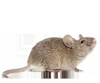 La souris grise, ou souris domestique, tient son nom de la couleur de son pelage. Pour un poids de 15 à 30 grammes, elle mesure à l'âge adulte entre 7 et 10 cm, sa queue mesure entre 6 et 9 cm. La souris vit généralement près des activités humaines, en ville comme à la campagne. Grimpeuse agile, elle s'installe à tous les niveaux des locaux intérieurs et extérieurs ou à proximité des réserves de nourriture (placards, greniers, étables, etc.). Elle s'installe dans les endroits isolés des maisons, où elle détourne papiers, tissus, rembourrages de meubles pour façonner son nid. Omnivore et nocturne, la souris grise n'est pas difficile et s'attaque à tout consommable se trouvant dans un périmètre de 1 à 5 m de son nid, depuis la nourriture jusqu'aux boiseries, câbles et isolations, papiers, savon, bougies.