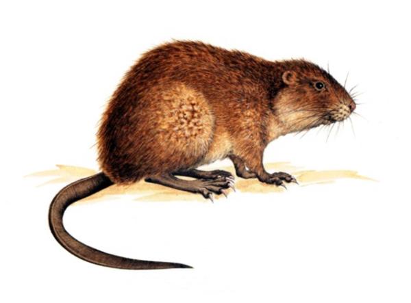 Le rat musqué, aussi nommé rat d'Amérique, pèse 1,5 kg en moyenne et mesure autour de 35 cm de long sans la queue, qui fait, elle, environ une vingtaine de centimètres. Sa fourrure marron foncé recouvre un duvet fin qui le protège efficacement du froid. Sa taille, nettement plus modeste que celle du ragondin, permet de l'en distinguer. Le rat musqué vit à proximité de l'eau : il creuse son terrier ou construit sa hutte à partir de branchages ou de détritus végétaux, et y accède par un réseau de galeries qui peut être complexe et vaste. 3 à 5 fois par an, les femelles adultes portent 5 à 6 petits, qui atteindront la maturité sexuelle en un an. La prolifération du rat musqué peut s'avérer rapide… Peu sociable, le rat musqué se montre surtout à la tombée du jour et la nuit. Son régime herbivore lui fait préférer les plantes aquatiques et de rivage, mais il peut aussi causer des dégâts aux cultures alentour (pommes de terre, céréales, betteraves, maïs…).