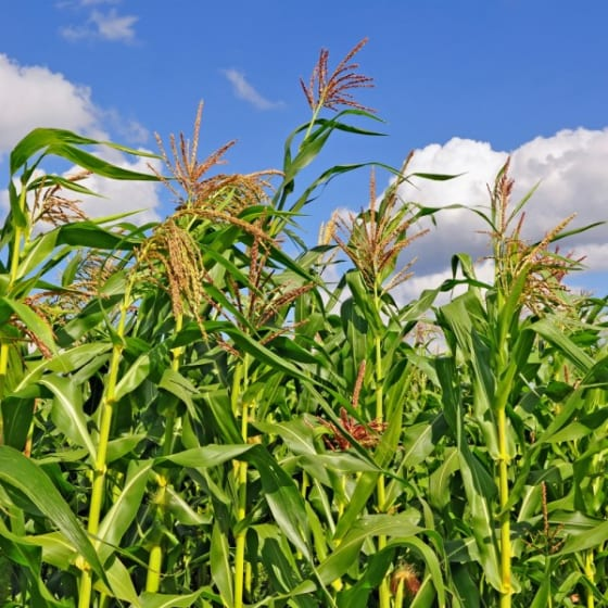 In the past five years corn and soy production has razed nearly 2 million acres of US Western grasslands. Shutterstock.com