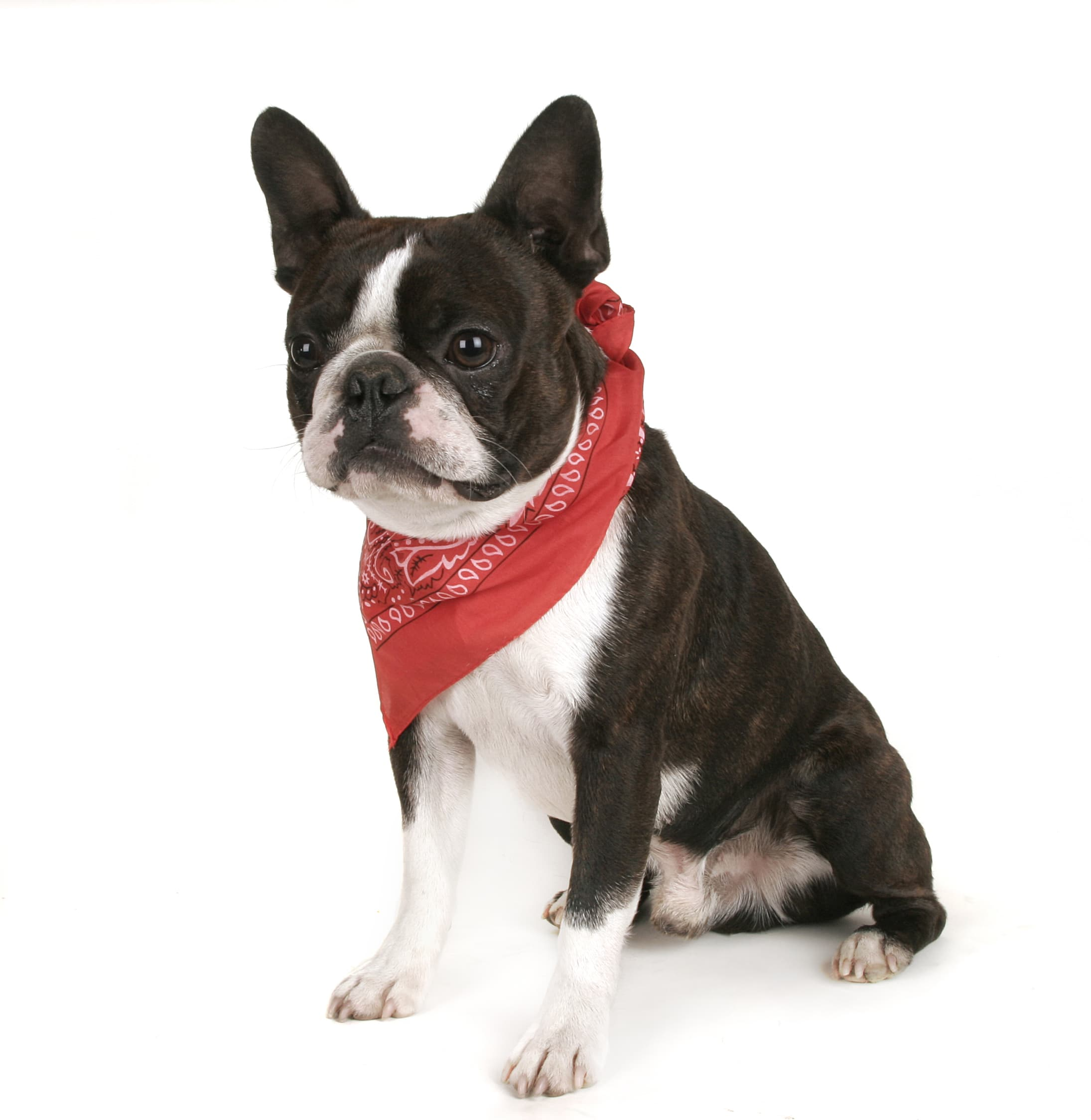Adopting Boston Terrier