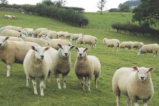 Sainsbury's lamb