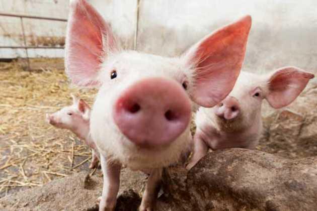 Russian pork ban