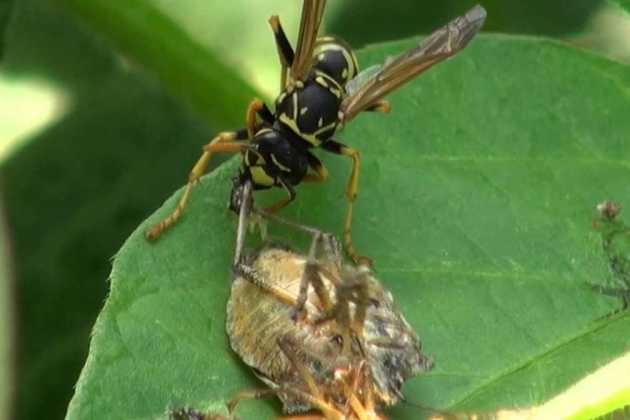 Samurai wasp stink bug