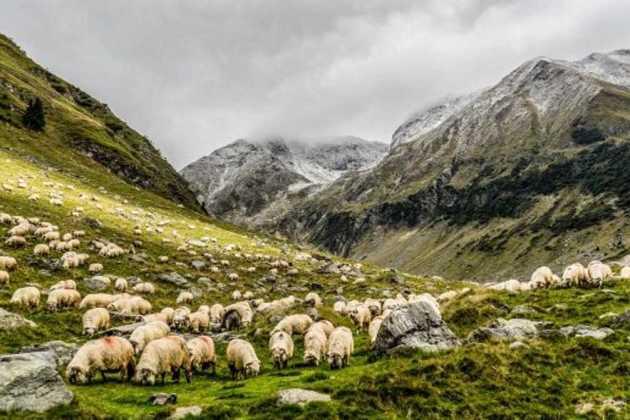 Maedi found in sheep