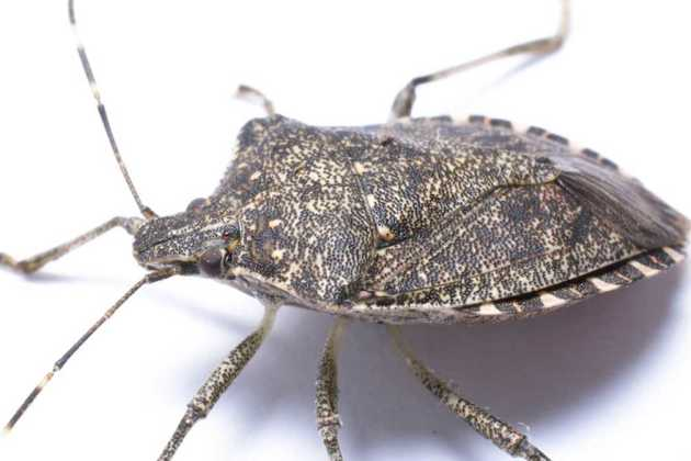 Marmorated stink bugs