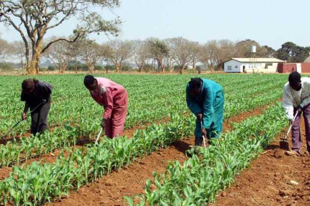 Zambia GMO