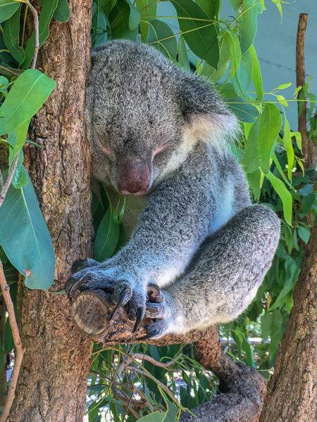 Koala Bear sleeping on tree branch