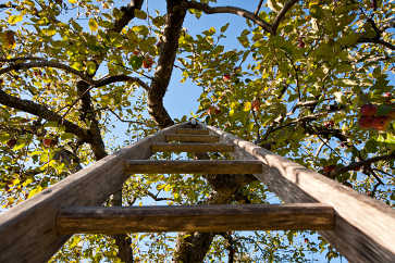 Apple Ladder, Apple Annie Orchard