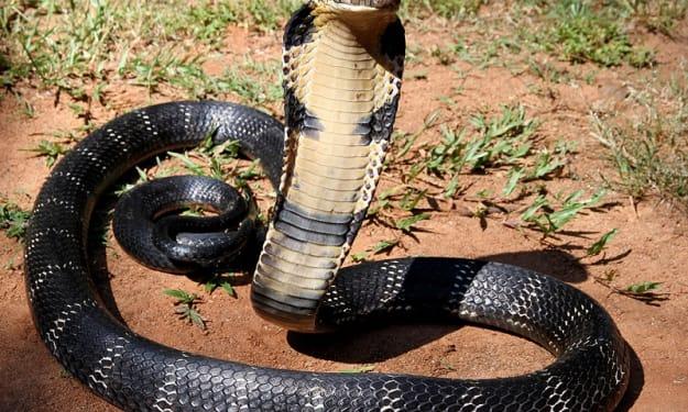 The Succulent Serpent