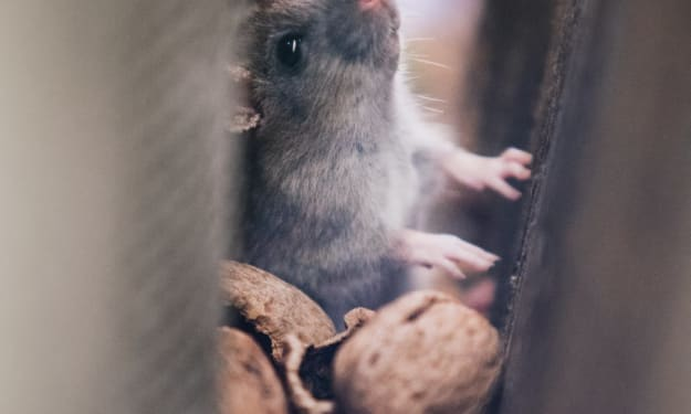 How to Get Rid of Mice When They've Invaded Your Home